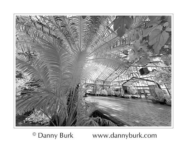Picture: Infrared: Tree Fern, Potawatomi Conservatory, South Bend, Indiana