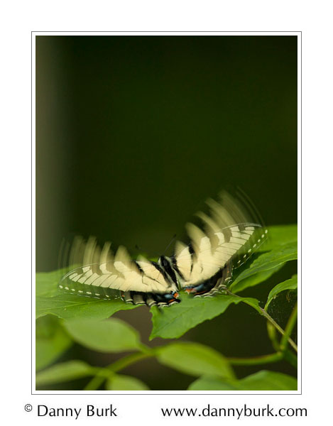 Picture: Papilio glaucus - Tiger Swallowtail, Chain O'Lakes State Park, Indiana