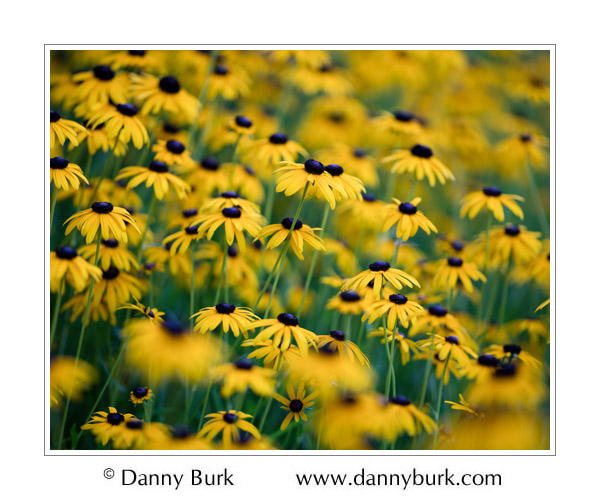 Yellow coneflowers, South Bend, Indiana
