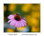 Coneflower and bumblebee, South Bend, Indiana