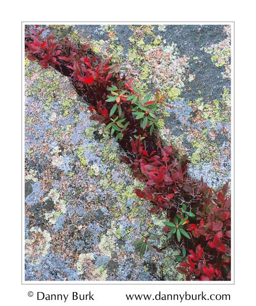 Picture: Red leaves in lichen-covered rock, Cadillac Mountain, Acadia National Park, Maine