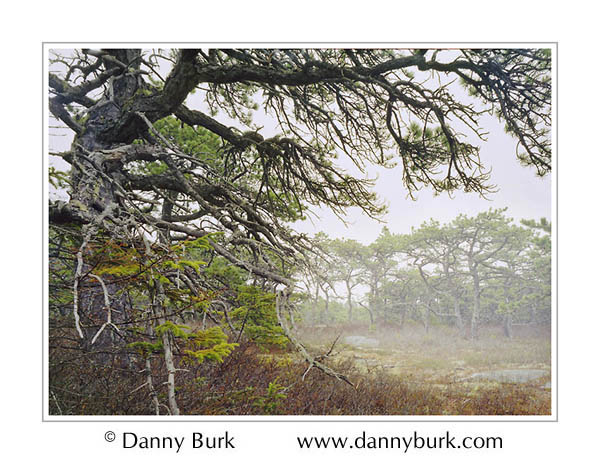 Picture: Gnarled pines in fog, Wonderland Trail, Acadia National Park, Maine