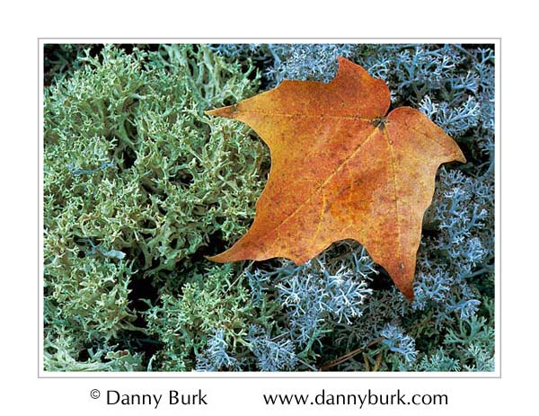 Picture: Lichen and maple leaf, Big Island Lake, Hiawatha National Forest, Upper Peninsula, Michigan