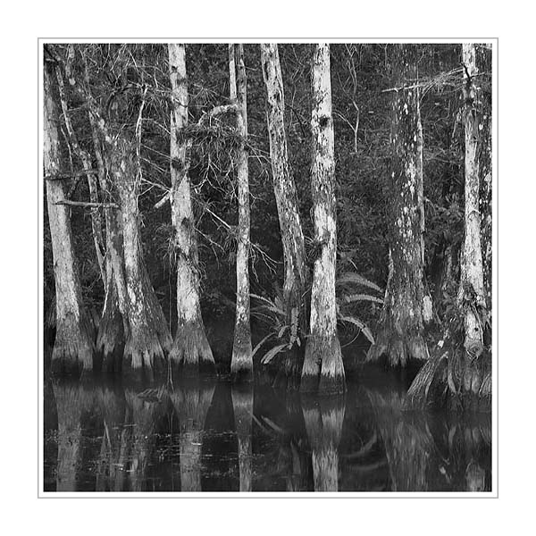 Picture: Cypresses and ferns, Big Cypress National Wildlife Refuge, Florida