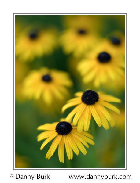 Black-eyed susan, South Bend, Indiana