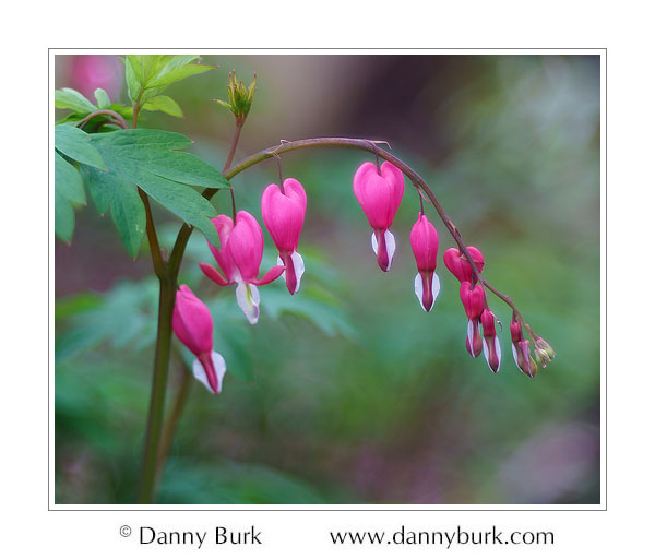 Bleeding Heart, South Bend, Indiana