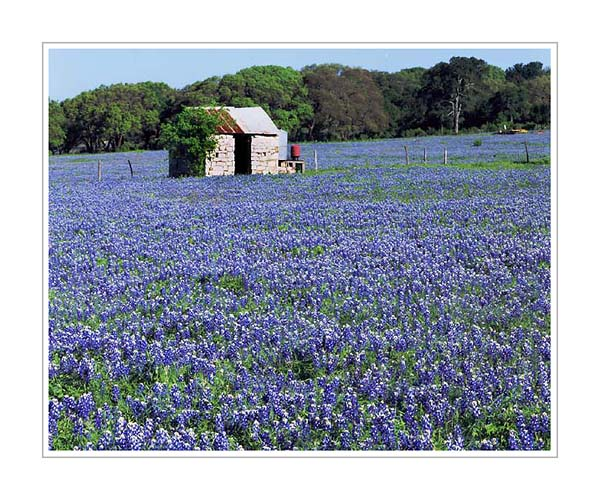 Picture: Bluebonnets, Marble Falls, Texas