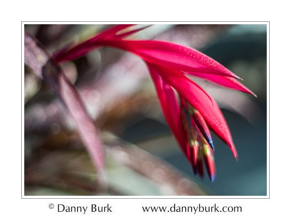 Bromeliad, Potawatomi Conservatory, South Bend, Indiana