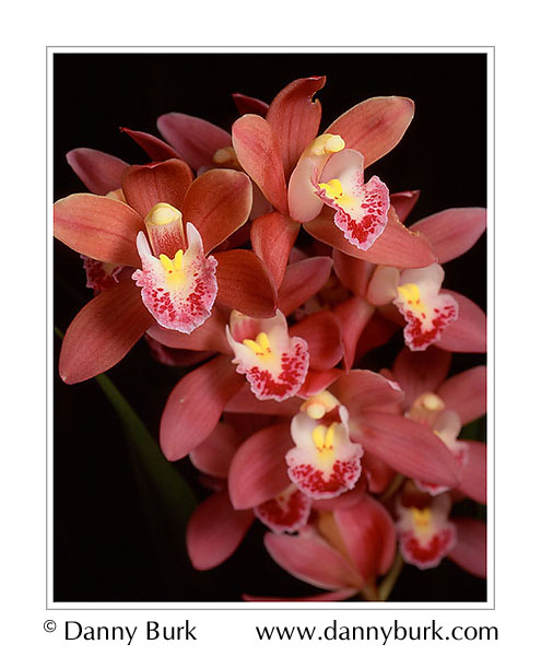 Picture: Cymbidium orchid pink red flower portrait