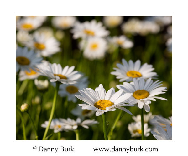 Daisies, South Bend, Indiana