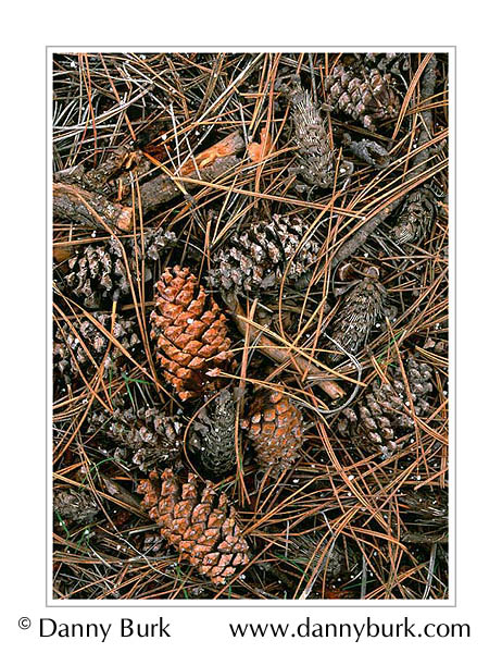 Picture: Ponderosa pine cones and needles, Grand Canyon National Park, Arizona