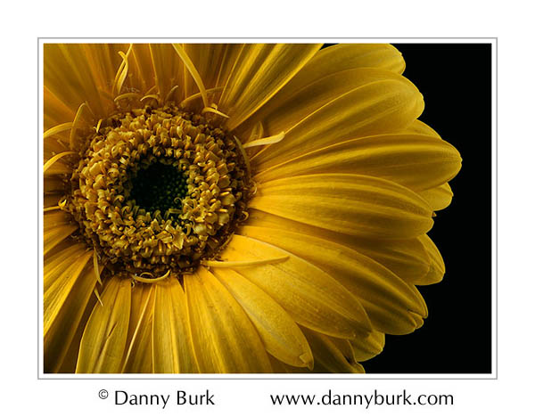 Picture: Gold Gerbera daisy flower portrait