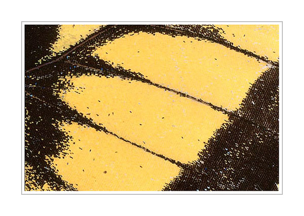 Picture: Papilio glaucus, yellow black butterfly wing abstract