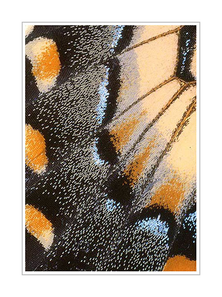 Picture: Papilio glaucus, orange blue butterfly wing abstract
