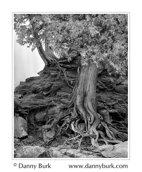 Picture: Gnarled cedar, Gooseberry Falls State Park, Minnesota