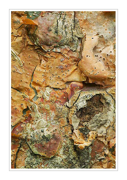 Picture: Gumbo Limbo bark, Shell Mound trail, Ding Darling National Wildlife Refuge, Sanibel Island, Florida