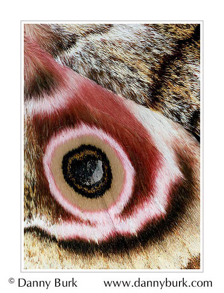 Picture: Gynanisa maja, pink brown butterfly wing abstract
