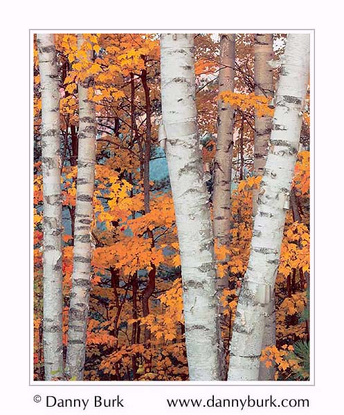 Picture: White Birch trunks, Hiawatha National Forest, Upper Peninsula, Michigan