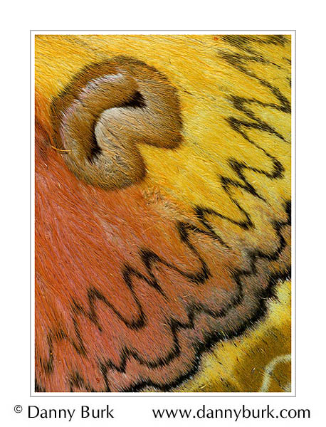 Picture: Loepa oberthuri, orange yellow butterfly wing abstract