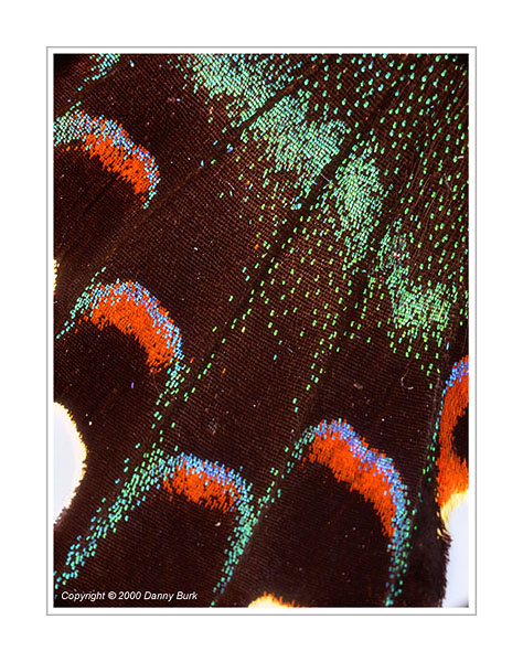 Picture: Papilio maackii maackii, red green butterfly wing abstract