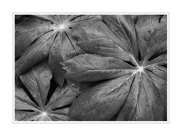 Picture: Mayapple leaves, Spicer Lake County Park, Indiana