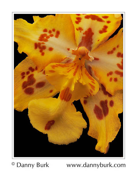 Picture: Odontoglossum orchid red yellow flower portrait