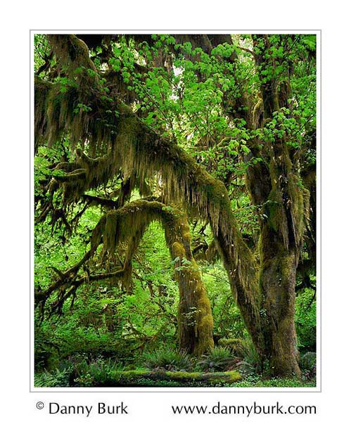 Picture: Bigleaf Maples, Hoh Rain Forest, Olympic National Park, Washington