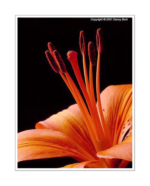 Picture: Orange Lily flower portrait