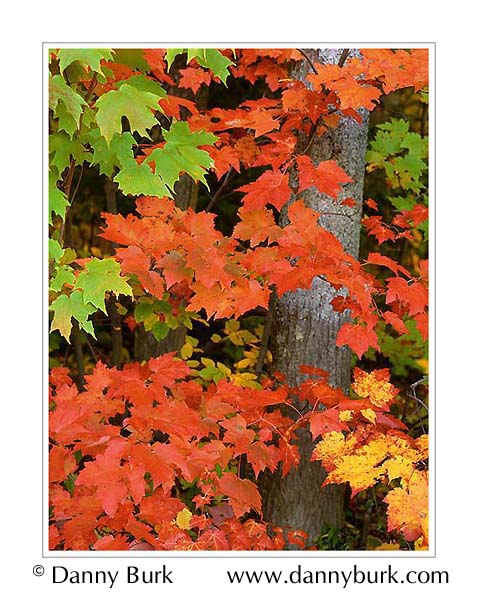 Picture: Maples, Otter Lake, south of Munising, Upper Peninsula, Michigan