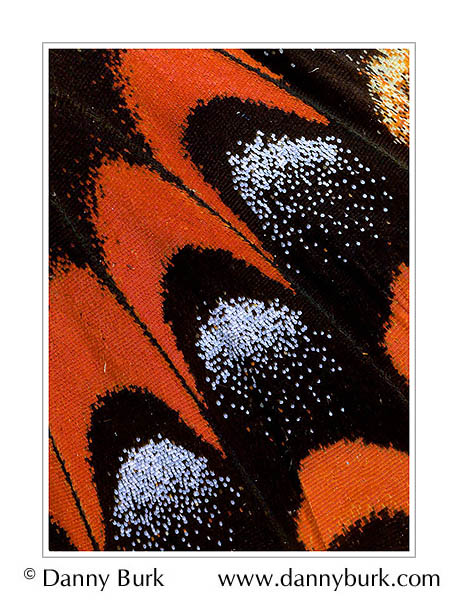 Picture: Papilio garamas, red black butterfly wing abstract