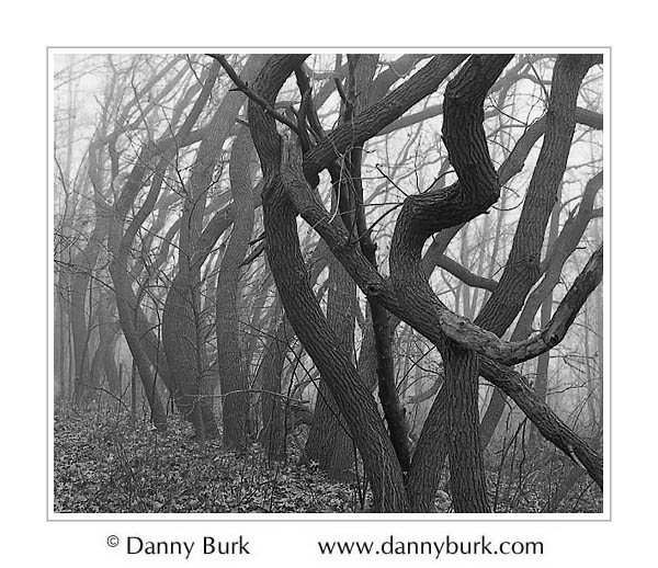 Picture: Gnarled trees in fog, Potato Creek State Park, Indiana