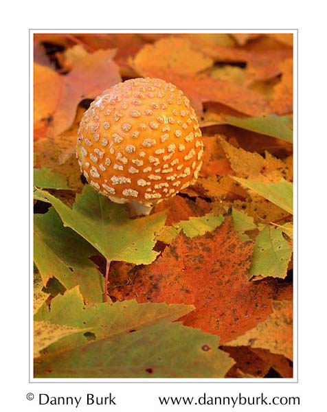 Picture: Amanita mushroom, Pete's Lake, Hiawatha National Forest, Upper Peninsula, Michigan