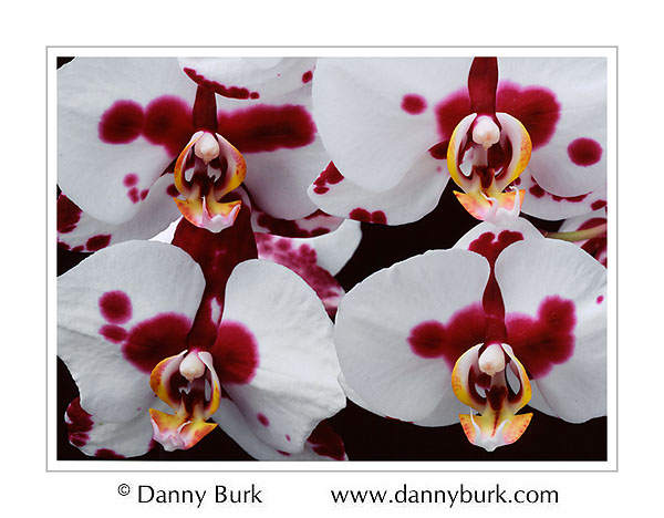 Picture: Phalaenopsis orchid white pink flower portrait