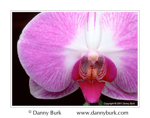 Picture: Phalaenopsis orchid pink white flower portrait