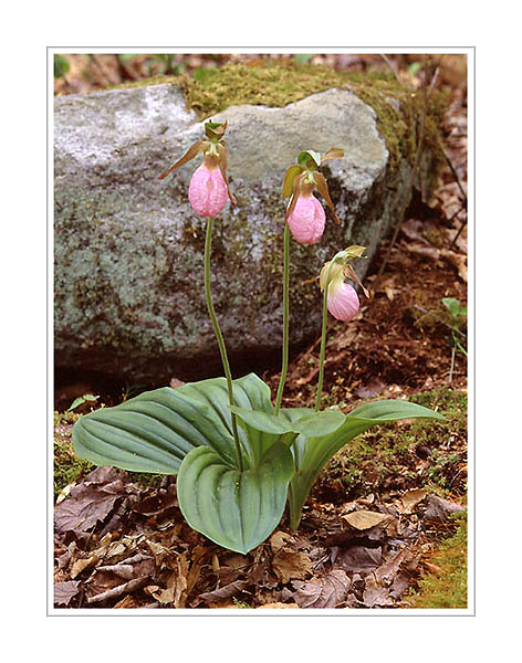 Picture: Pink Ladyslipper, Great Smoky Mountains National Park, Tennessee
