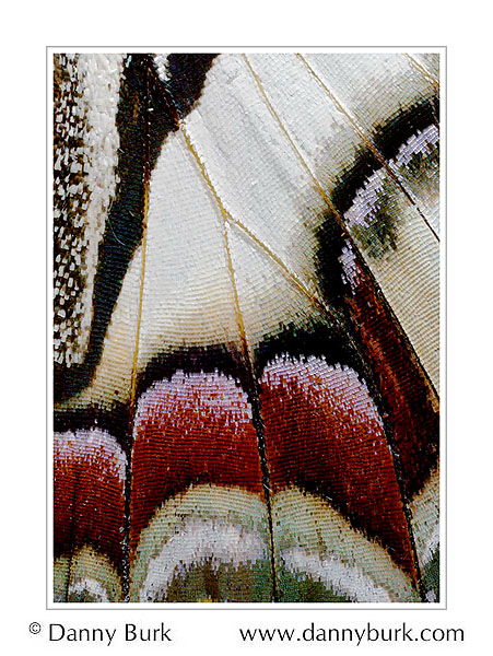 Picture: Polyura dehaani, red white butterfly wing abstract