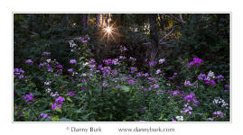 Phlox with sunstar, Potato Creek State Park, Indiana