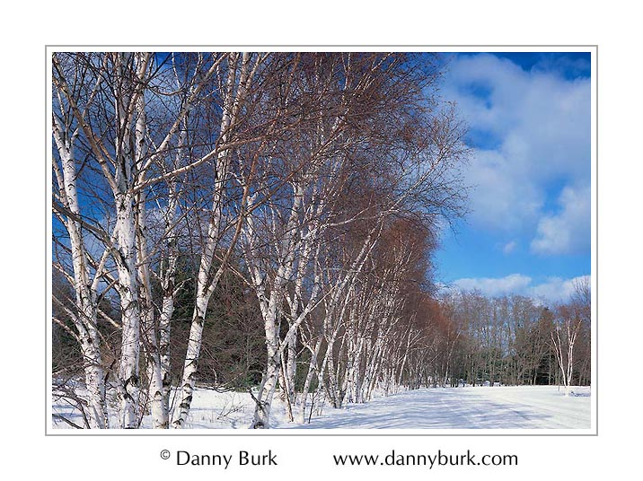 Picture: White birches, Sleeping Bear Dunes National Lakeshore, Michigan