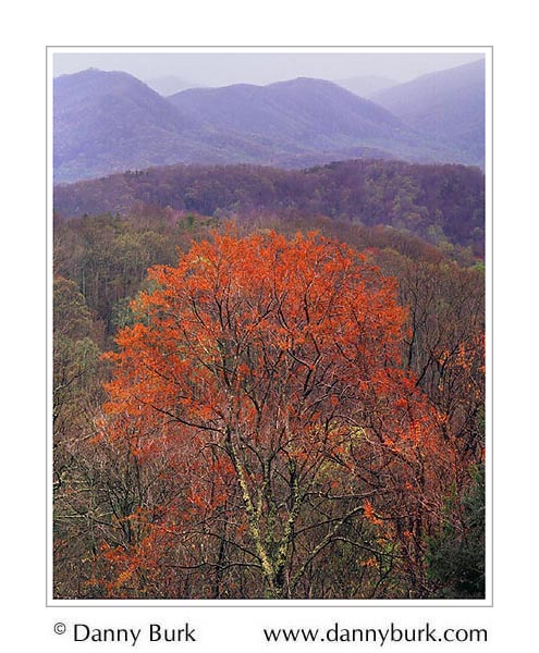 Picture: Orange spring foliage along Roaring Fork Road, Great Smoky Mountains National Park, Tennessee