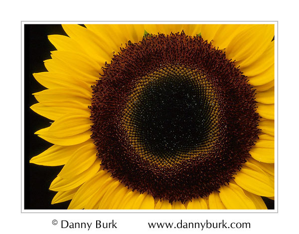 Picture: Sunflower yellow brown closeup flower portrait