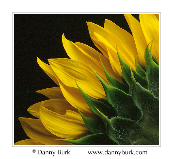 Picture: Sunflower back yellow green closeup flower portrait