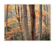 Picture: Colorful orange maples, Tremont, Great Smoky Mountains National Park