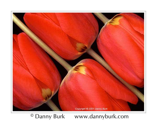 Picture: Red tulips flower portrait