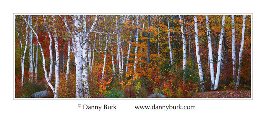 White Birches and colorful maples, Lake Groton, Vermont