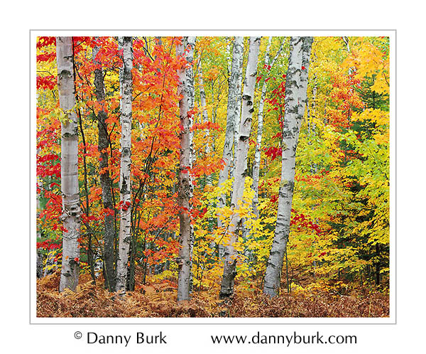 Picture: Maples and birches, White Birch Forest, Pictured Rocks National Lakeshore, Upper Peninsula, Michigan