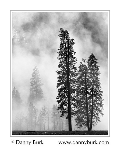 Picture: Pines in morning mist, El Capitan Meadow, Yosemite National Park, California