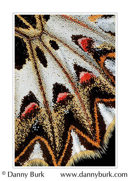 Picture: Zerynthia polyxena, red orange butterfly wing abstract
