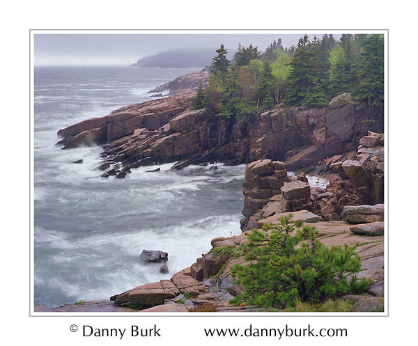 Picture: Cove and pines in rain, along Loop Road, Acadia National Park, Maine
