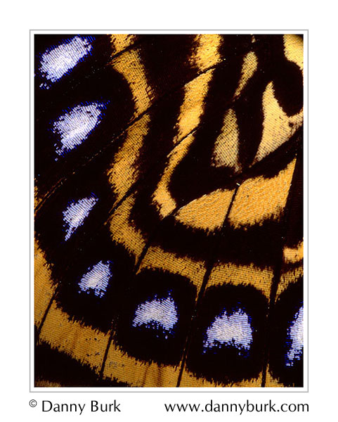 Picture: Agrias amydon, yellow blue butterfly wing abstract