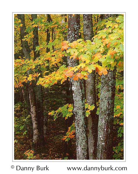 Picture: Colorful maples, Big Island Lake, Hiawatha National Forest, Upper Peninsula, Michigan